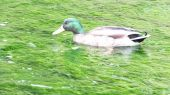 duck01