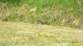 pied_wagtail02