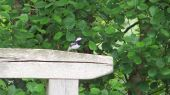 pied_wagtail05