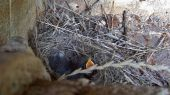 pied_wagtail_nest