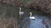 swan_cygnet