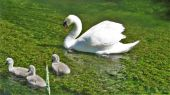 swan_cygnets02