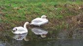 swans09