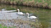 swans10