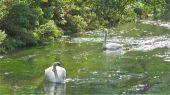 swans11