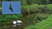 swans_buzzard