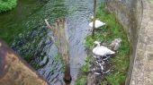swans_cygnet04