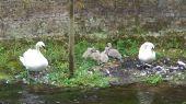swans_cygnet05