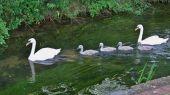 swans_cygnet06