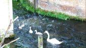 swans_cygnet07