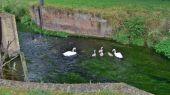 swans_cygnet08