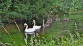 swans_cygnet09