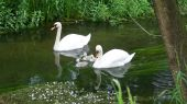 swans_cygnet10
