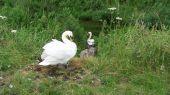 swans_cygnet12