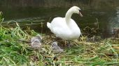 swans_cygnets