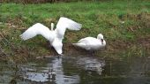 swans_wings